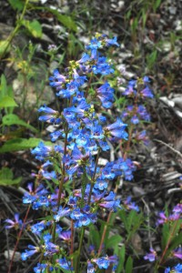 several tall stems covered with blue tubular flowers