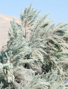large silver-grey sagebrush with drooping branches