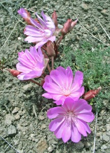 several bright pink flowers with 12-18 petals on rocky soil