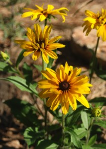 two yellow daisy-like flowers with dark brown centers