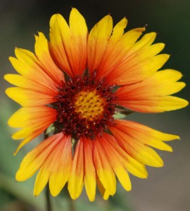 single many petalled yellow tipped red flower