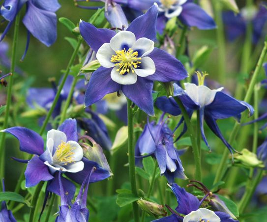 Blue columbine aquilegia coerulea blackfoot native several flowers with 5 bluish purple petals with 5 white petals in center and yellow mightylinksfo