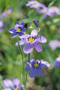 several bluish-purple 6 petalled flowers with yellow centers