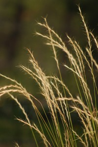 spiky golden brown seedheads of Bluebunch Wheatgrass