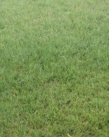 picture of Buffalo Grass lawn