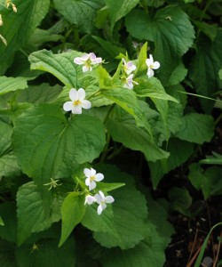 green heart shaped leaves with several white violet flowers with yellow centers