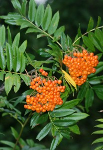 dark green opposite narrow leaves with 2 large clusters of orange-red berries