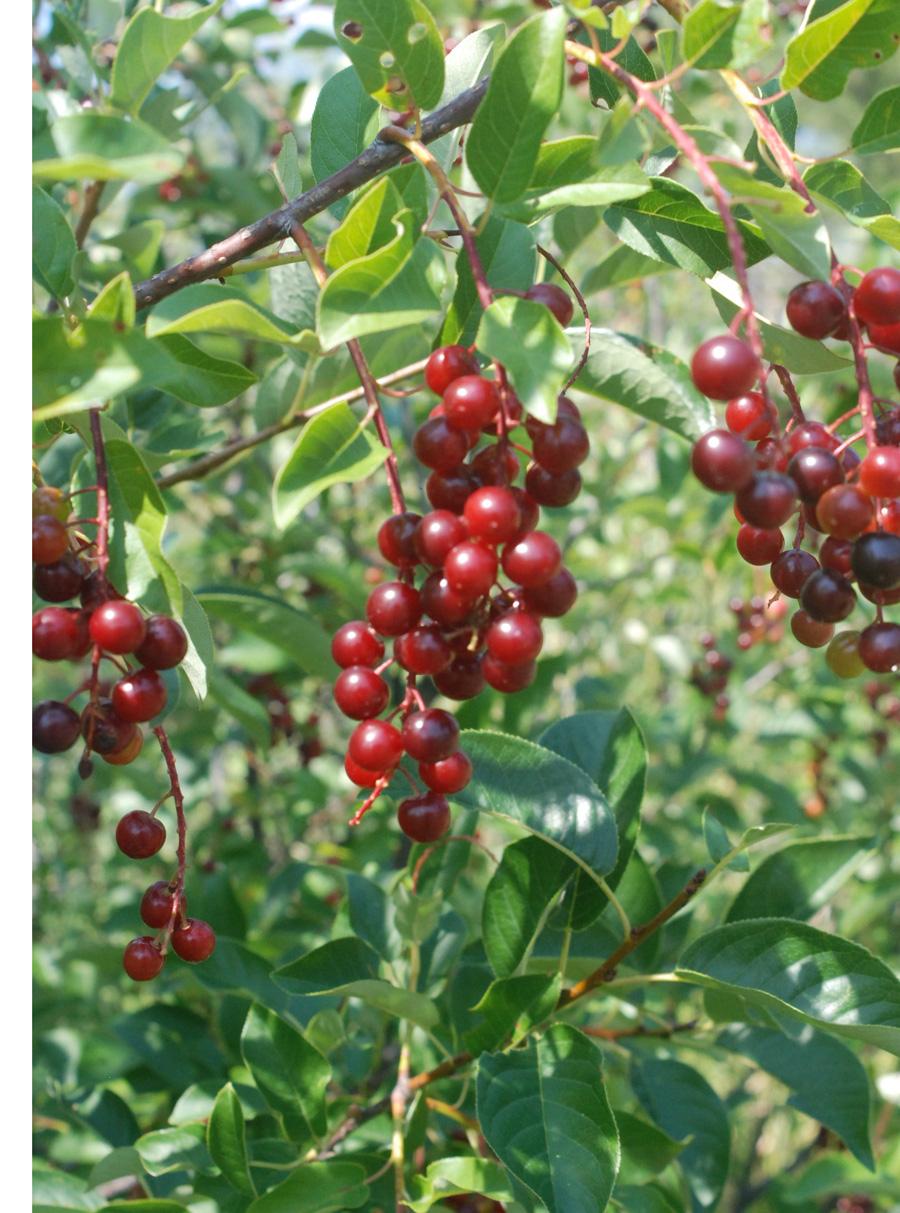 Common Chokecherry Prunus Virginiana Blackfoot Native