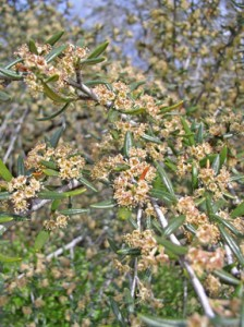 small orange flowers on silver branches with small narrow green leaves