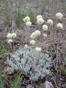 dense mat of small silvery blue-green leaves with whitish ball shaped flowers on top of stems
