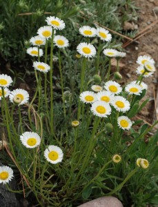 numerous small white daisy-like flowers with yellow centers