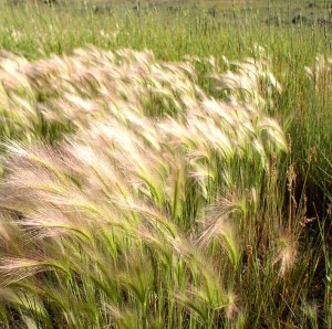 area of Foxtail Barley plants, soft seedheads waving in the wind