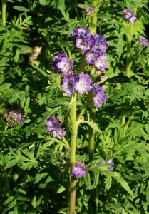 single green stem with clusters of purple flowers with yellow stamens and deeply cut leaves