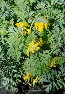 ferny silvery-green foliage and  bright yellow tubular flowers