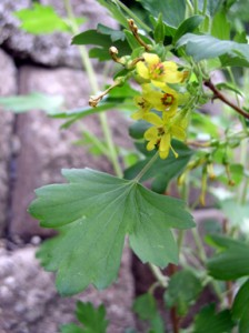 broad green serrated leaf with yellow tubular flowers with red centers