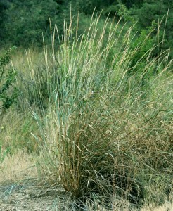 3-4 foot Great Basin Wildrye bunchgrass