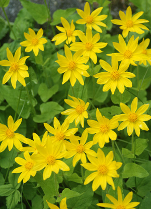 Heart leaf arnica arnica cordifolia blackfoot native heart shaped green leaves beneath bright yellow ray flowers with yellow centers mightylinksfo