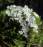 single cushion-like green plant covered with small 5-petalled white flowers
