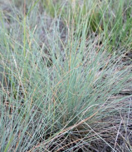 blue-green foliage of Idaho Fescue bunchgrass