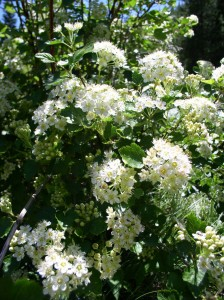 green shrub covered with clusters of small white flowers