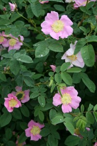 green shrub with large pink rose flowers