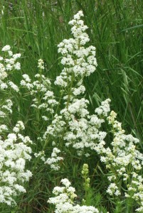 clusters of white starlike flowers at top of green stems