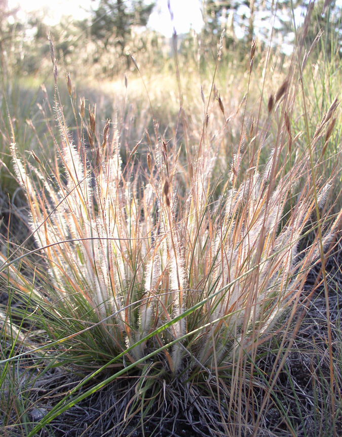 short bunchgrass with furry orange to creamstems