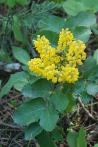 Small yellow clusters of flowers on stems of green serrated leaves