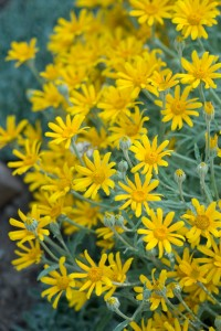 "silvery grey-green foliage and a profusion of 1"" bright golden yellow ray flowers"