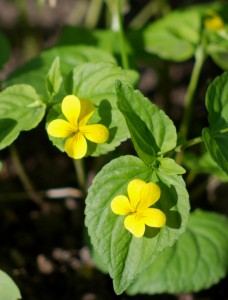 2 bright yellow violet type flowers with green somewhat heart-shaped leaves