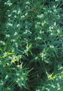 multiple stems of narrow green leaves with numerous pale yellow to greenish small flowers
