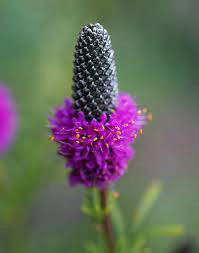 single thimble-like flower head with bright purple-pink flowers at bottom
