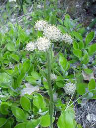 bright yellow-green basal leaves with whitish undersides and small whitish fluffy flowers in open panicle