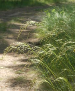 delicate drooping seedheads of Richardson's Needlegrass