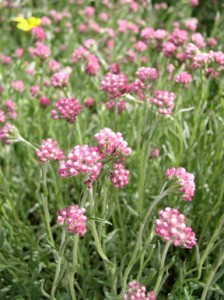 deep pink to white clusters of flowers that resemble a cat's paw with silvery-green stems