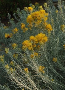 silvery blue-grey narrow leaves on grey stems with golden yellow flower clusters at ends of stems