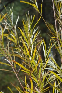 branches of long, narrow yellow-green leaves