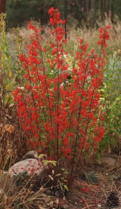 trumpet-shaped, brilliant scarlet flowers on erect multiple stems