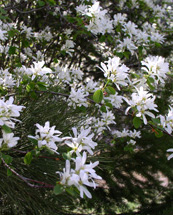 "profusion of 1 1/4"" white flowers with long petals on green shrub"