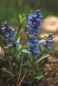 grey-green waxy leaves on several stems with vibrant blue 2-lipped flowers