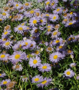 """numerous 1-2"""" lavender ray flowers with yellow centers"""