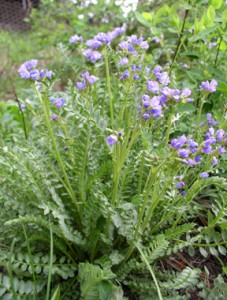 numerous stems with small opposite leaves with pale blue to lavender flowers