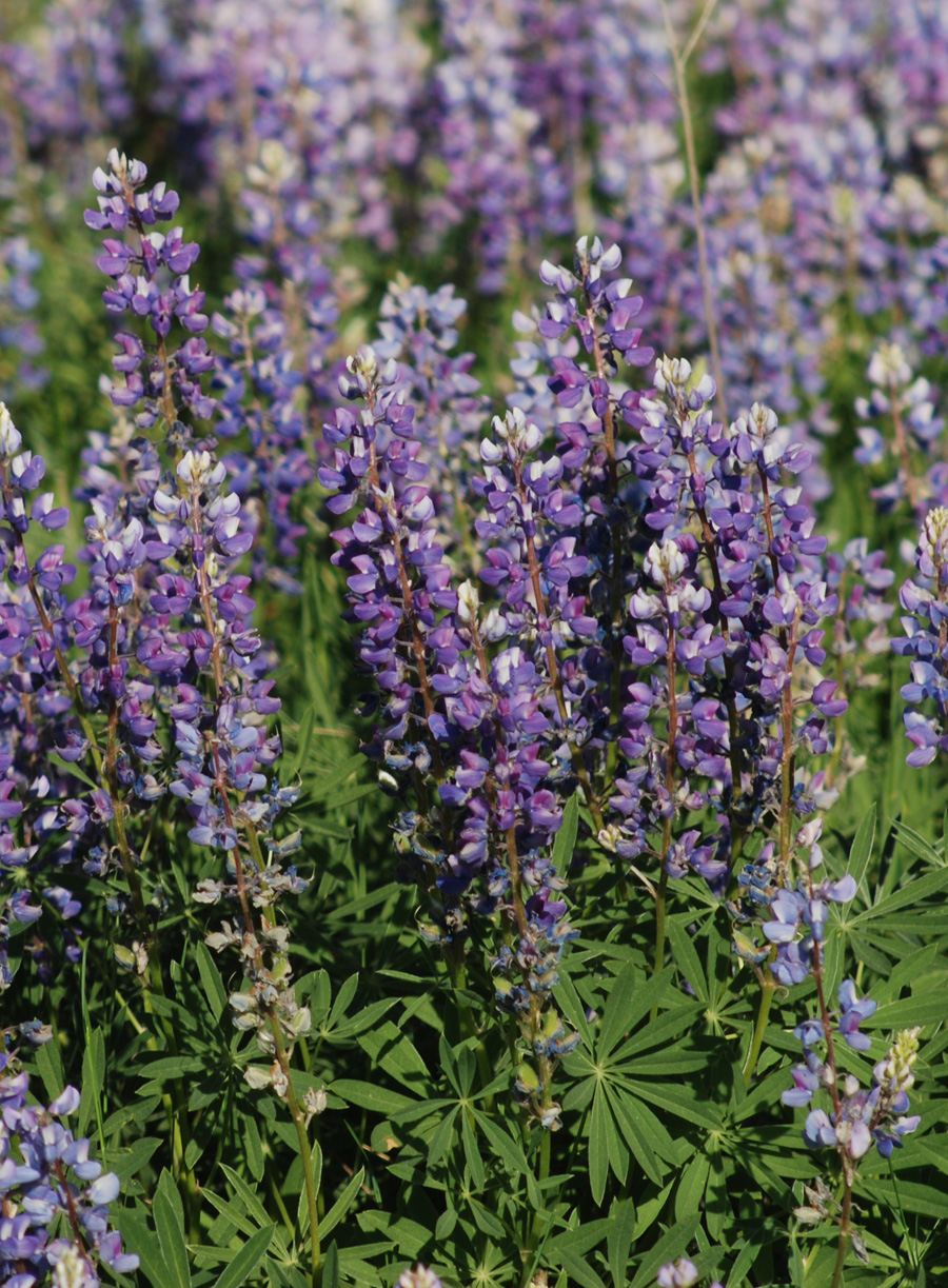 Silvery lupine lupinus argenteus blackfoot native numerous stems with purple to white pea like flowers in whorls up stems mightylinksfo
