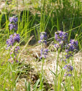 several stems with numerous small intense blue to purple flowers crowded into distinct whorls along erect stem