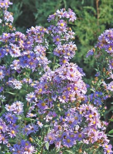 numerous purple to lavender star-like ray flowers with small yellow centers