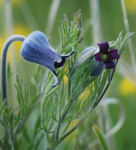 two nodding cup-shaped purple flowers resembling sugarbowlsadn lacy, silvery leaves