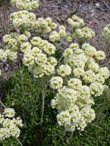 """several stems with 1/4"""" cream colored flowers tinged with pink in flat-topped umbel"""