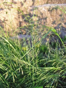 delicate branched green seedhead of Tickle Grass