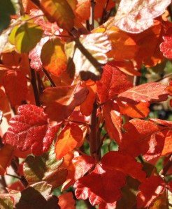 close-up of red-orange three-lobed leaves on branch