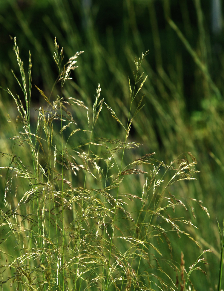 Delicate green seedheads of Tufted Hairgrass